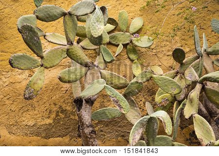 Opuntia Cactus on a yellow wall background