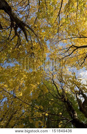 Crowns and trunks of trees yellow green orange autumn leaves and above them a blue sky Sunny day the average climate zone temperate climate Russia