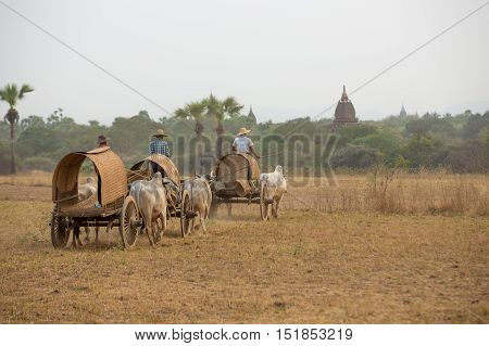 Burmese rural transportation with two white oxen pulling wooden cart on dusty road track heading to pagodas at Bagan, Myanmar (Burma).