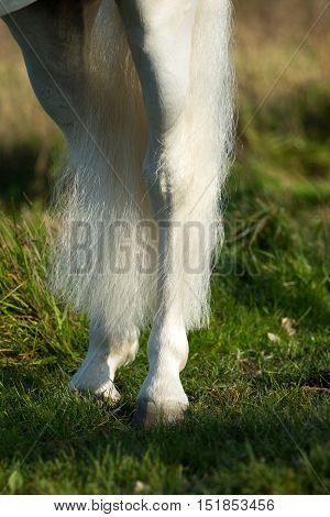 The hind legs of a white horse that has just been cleaned.