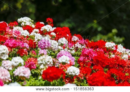Geranium flowerbed with mixed white, pink and red geranium flowers
