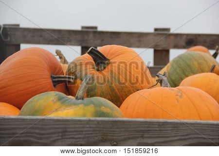 Pumpkins (Cucurbita pepo}) in a trailer on sale
