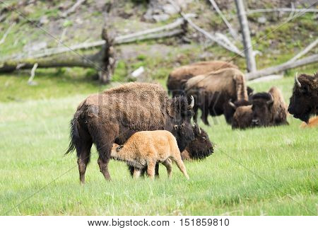 Mother buffalo (bison bison) is nursing its baby. Yellowstone National Park, Wyoming, USA