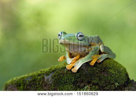 Tree feog, Javan tree frog himself waited on the rock
