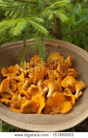 Mushrooms Chanterelle. Close Up Edible Mushroom Chanterelle On Wicker Hat Under Small Fir Outdoor. Mushrooms Chanterelle In Forest.