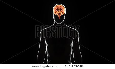 3D illustration Human anatomy brian.human body peart.