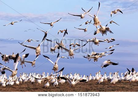 Thousands of migrating Snow Geese ( Chen caerulescens ) fly from a field in Lancaster County Pennsylvania USA.
