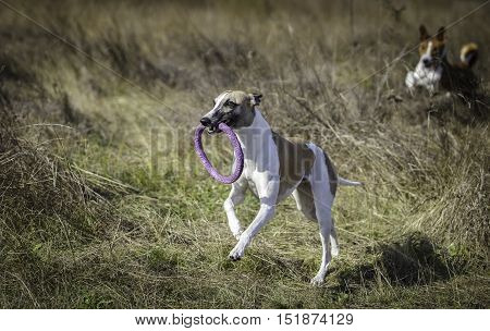 Whippet On A Walk In The Park