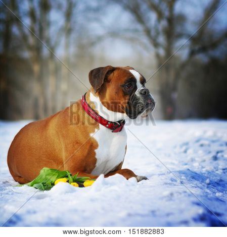 intelligent dog breeds red boxer lies in winter on snow with flowers tulips. The concept of the idle spring