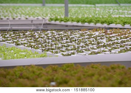 Vegetable in the Hydroponic farm. Hydroponics method of growing plants using water without soil