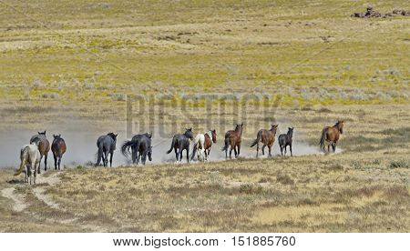 Herd of wild horses run in a line in Utah's Onaqui Horse Management Area managed by the federal Bureau of Land Management. Lead stallion at front of line. Their hooves stir up dry sand. Horizontal image withe copy space and no people.