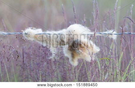 Sheep Wool Snagged On Barbed Wire