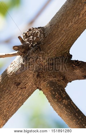 Cicada camouflaged on the tree in Spain.