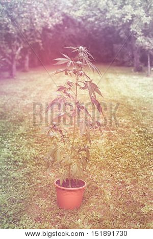 Cannabis female plant in flowerpot outdoors in the garden indica dominant hybrid in flowering stage.