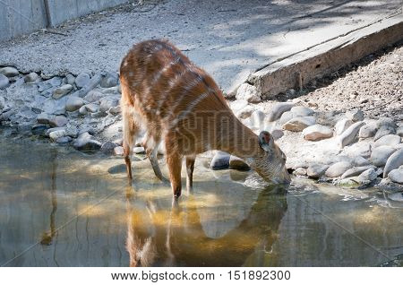 Sitatunga, Tragelaphus spekii. It is a swamp-dwelling antelope found throughout Central Africa. Sitatunga live in papyrus swamps and are very good swimmers.