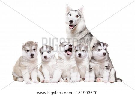 Puppies Husky sitting together with mother isolated on white background