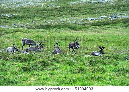Reindeers near Nordkapp Cape Finnmark province Norway