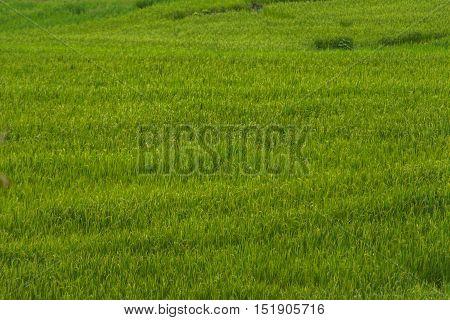Green Terraced Rice Field in Pa Bong Pieng , Mae Chaem, Chiang Mai, Thailand