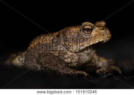 Juvenile common toad (Bufo bufo) against black background. Familiar amphibian at night on burnt wood with bright eyes visible