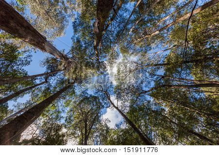 Looking High Up At Tall Eucalyptus Tree Tops In Mt. Field National Park, Tasmania.