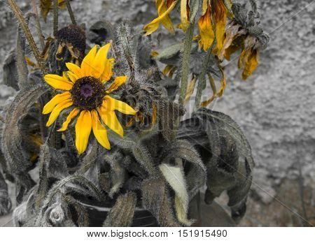Yellow dry sunflower on dark background - condolence card