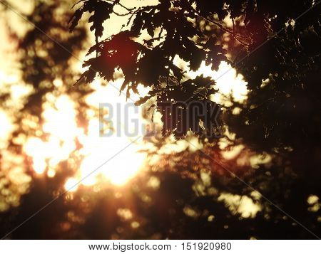Evening sunshine silhouetting autumn oak leaves and twigs