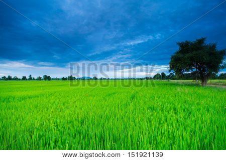 Rice field green grass blue sky cloud cloudy landscape background, Si Satchanalai , Sukhothai Province, Northern Thailand.