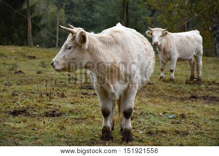 Two white cows on pasture. Cows. Agricultural livestock. poster