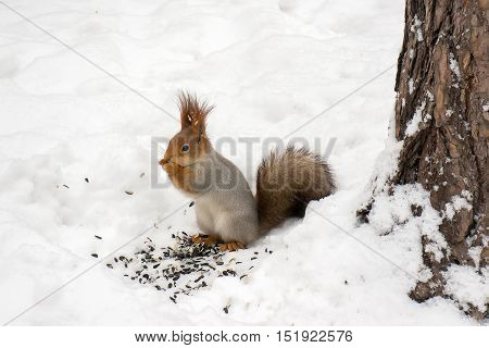 Squirrel eating a seeds in winter forest