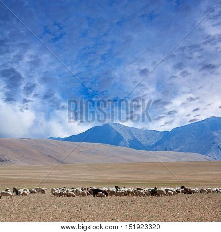 Farmland In Ladakh, North India