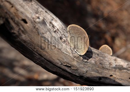 A Tree mushroom in the Caatinga of Brazil