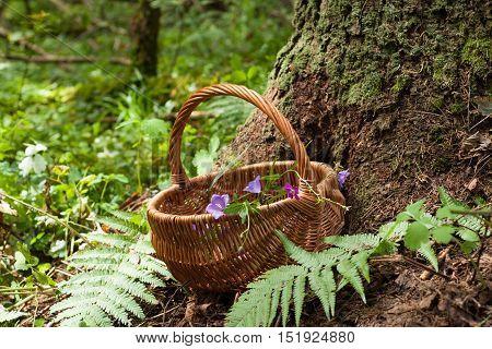 Wicker Basket With Flowers Bell Near Wood In Forest Summer. Wicker Basket On Forest Background.