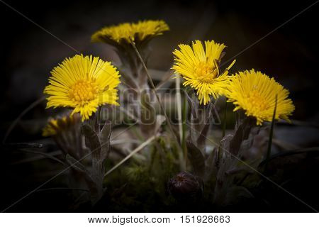 some shining flowers of the tussilago farfare plant