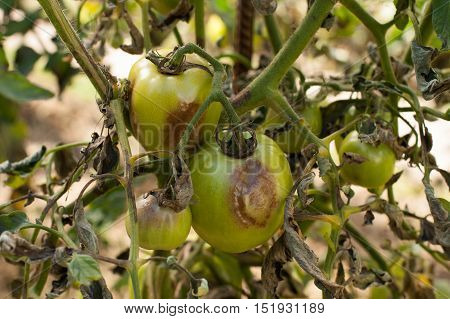 Diseases Of Tomato. Tomato Stricken Phytophthora (Phytophthora Infestans) In Vegetable Garden Close Up. Fighting Phytophthora.