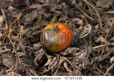 Diseases Of Tomato. Tomato Stricken Phytophthora (Phytophthora Infestans). Fighting Phytophthora. Red Tomato On Background Of Dry Leaves Of Tomato Stricken Phytophthora (Late Blight).