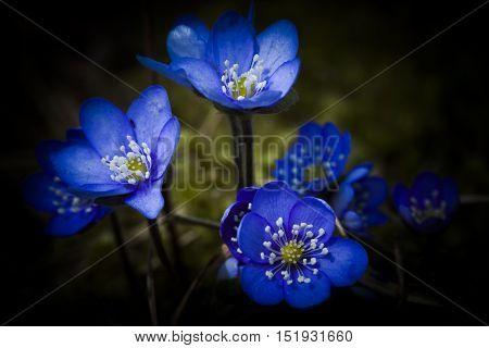 the very early liverleaf or blue anemone