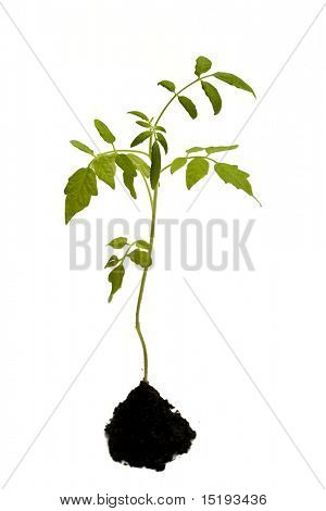 young tomato plant. isolated on white