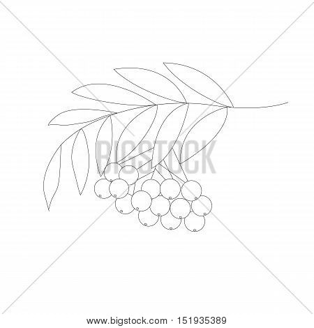 Detailed drawing of rowan or rowanberry. Berries and rowan berries with leaves, hand drawn in rustic design, classic drawing element of wild ash, pit or rowan-tree. Isolated, black and white.