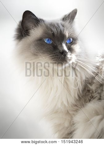 Close up of a blue colorpoint Ragdoll cat lying in sunlight