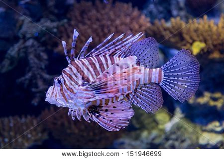 Underwater Colored Lionfish In Aquarium