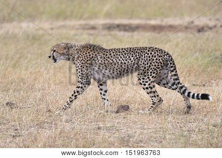 African cheetah crossing country road Masai Mara National Reserve Kenya East Africa