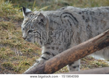 Lynx cat strutting around in early Spring.