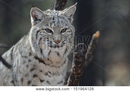 Amazing face of a lynx bobcat with a gorgeous face.