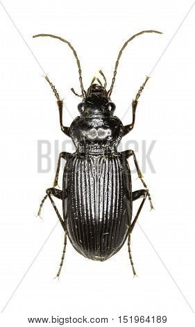 European Gazelle Beetle on white Background - Nebria brevicollis (Fabricius 1792)