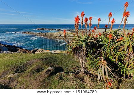 Scenic coastline with flowering aloe, Garden Route National Park, South Africa