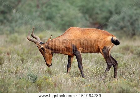 A red hartebeest antelope (Alcelaphus buselaphus) in natural habitat, South Africa