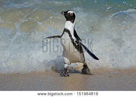 An African penguin (Spheniscus demersus) running on beach, Western Cape, South Africa