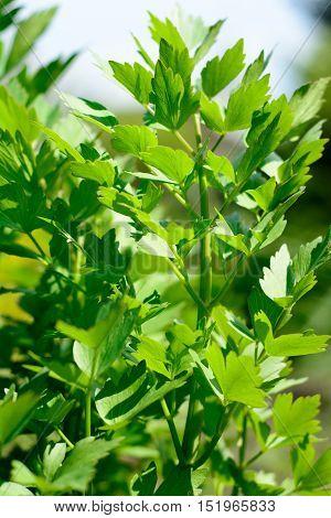 Lovage plant bunch in garden - Levisticum Officinale