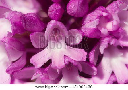 Flowers Detail Of Pyramidal Orchid - Anacamptis Pyramidalis