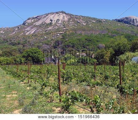 Grape Farm Paarl, Western Cape South Africa 11asa